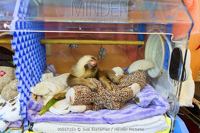 Hoffmann's Two-toed Sloth (Choloepus hoffmanni) orphaned baby in incubator, Aviarios Sloth Sanctuary, Costa Rica
