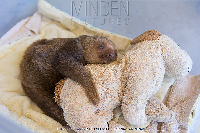 Hoffmann's Two-toed Sloth (Choloepus hoffmanni) orphaned baby clinging to stuffed animal, Aviarios Sloth Sanctuary, Costa Rica