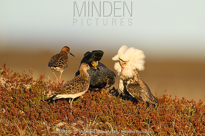Ruff (Philomachus pugnax) males displaying at lek near females, Varanger Peninsula, Norway
