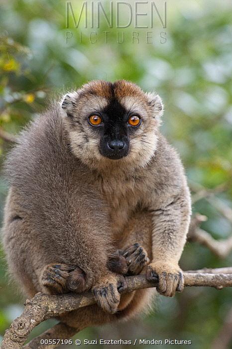 Common Brown Lemur (Eulemur fulvus), Madagascar