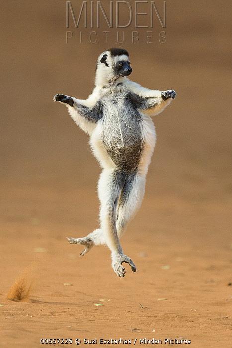 Verreaux's Sifaka (Propithecus verreauxi) leaping, Berenty Private Reserve, Madagascar