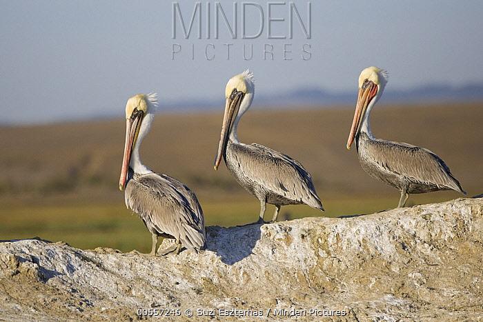 Brown Pelican (Pelecanus occidentalis) trio, Monterey Bay, California