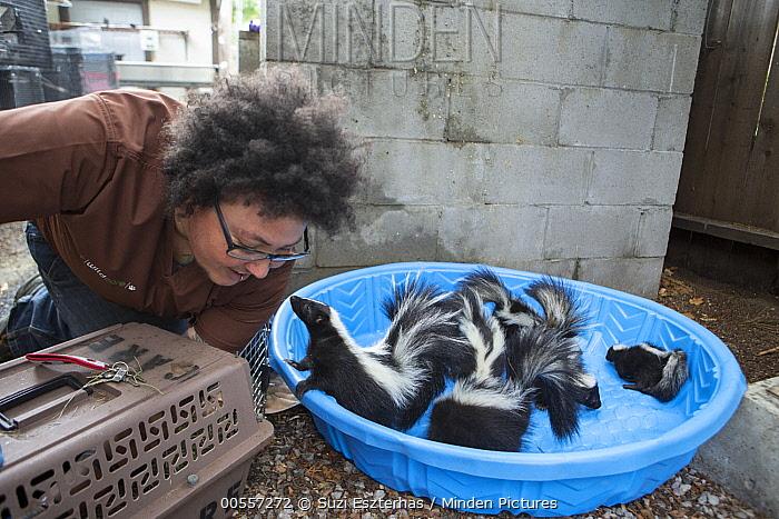 Striped Skunk (Mephitis mephitis) orphaned juvenile skunks and veterinary technician, Nat Smith, WildCare, San Rafael, California