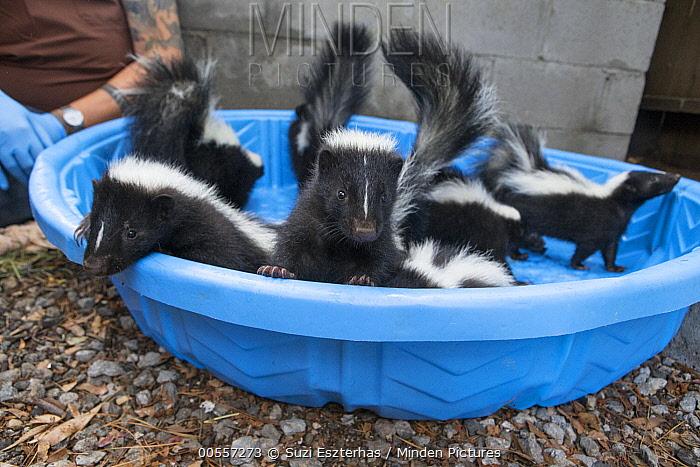 Striped Skunk (Mephitis mephitis) orphaned juveniles, WildCare, San Rafael, California