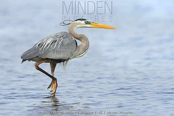 Great Blue Heron (Ardea herodias) wading, Sanibel Island, Florida