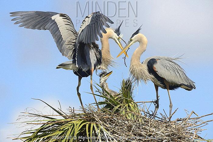 Great Blue Heron (Ardea herodias) parents at nest with chick, Florida