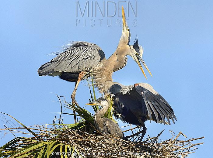 Great Blue Heron (Ardea herodias) parents bonding at nest with chick, Florida