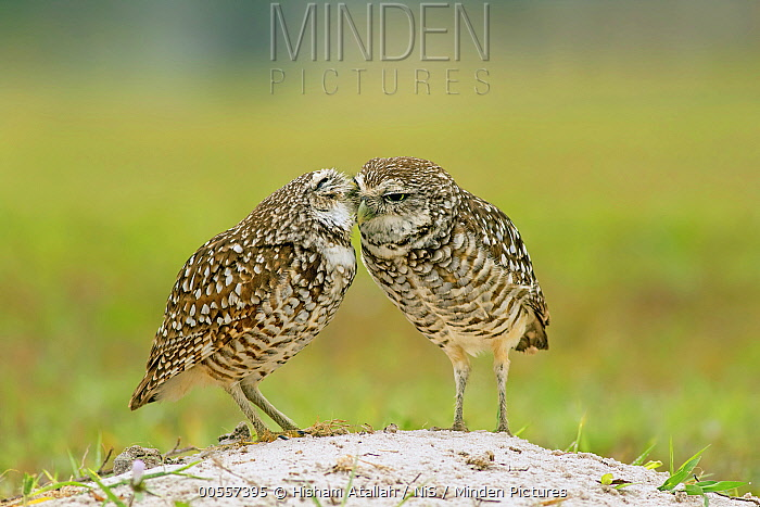 Burrowing Owl (Athene cunicularia) pair preening each other, Cape Coral, Florida