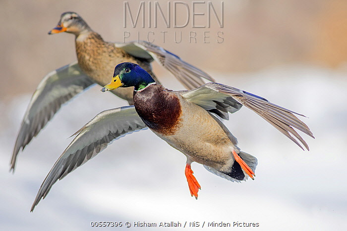 Mallard (Anas platyrhynchos) pair flying, Boston, Massachusetts