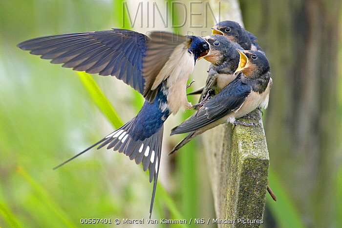 Barn Swallow (Hirundo rustica) parent feeding fledglings, Wyns, Friesland, Netherlands