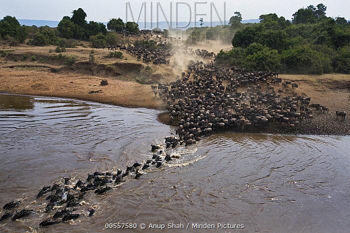 Blue Wildebeest (Connochaetes taurinus) herd crossing Mara River, Masai Mara, Kenya