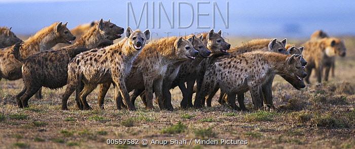 Spotted Hyena (Crocuta crocuta) group, Masai Mara, Kenya