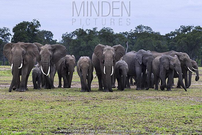 African Elephant (Loxodonta africana) herd, Masai Mara, Kenya