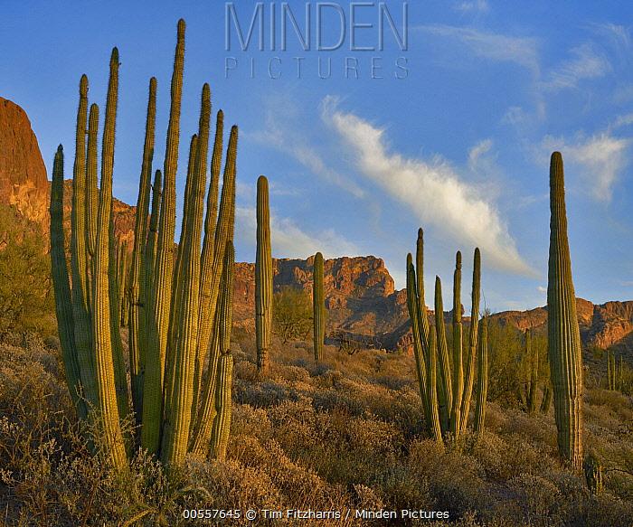 Senita Cactus (Pachycereus schottii) group, Ajo Mountains, Organ Pipe Cactus National Monument, Arizona