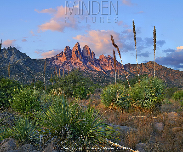 Agave (Agave sp) group, Organ Mountains, Aguirre Spring National Recreation Area, New Mexico