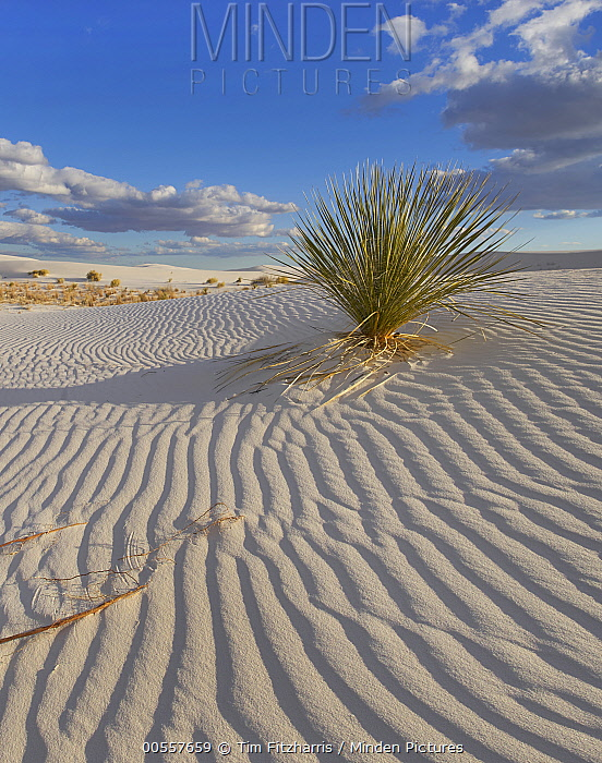 Soaptree Yucca (Yucca elata) in sand dune, White Sands National Monument, New Mexico