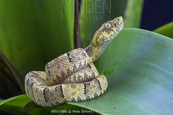 Osborne's Lancehead (Bothrops osbornei) juvenile, native to South America