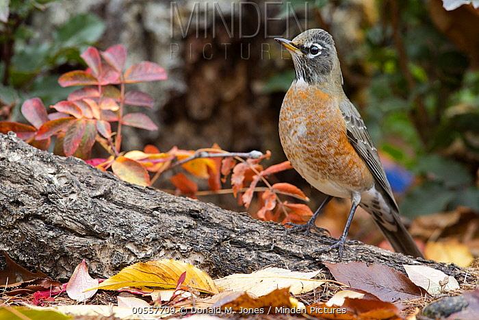 American Robin (Turdus migratorius), western Montana