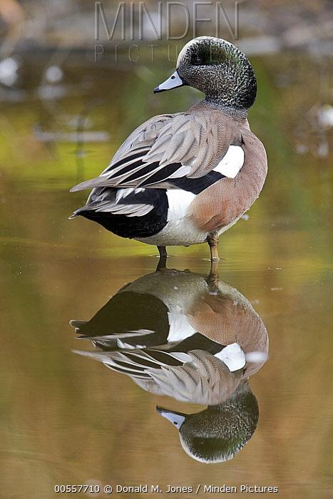 American Wigeon (Anas americana) drake, western Montana