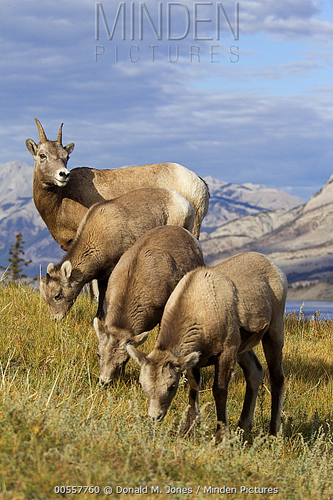 Bighorn Sheep (Ovis canadensis) ewes and lambs grazing, western Canada