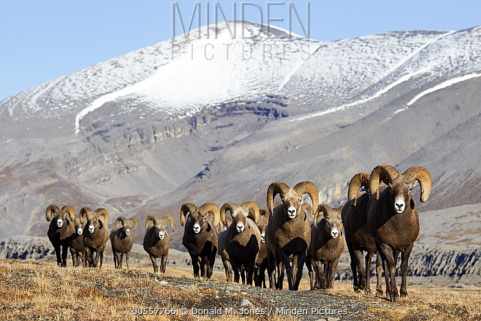 Bighorn Sheep (Ovis canadensis) rams in tundra, western Canada