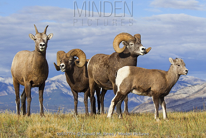 Bighorn Sheep (Ovis canadensis) rams, ewe, and lamb, western Canada