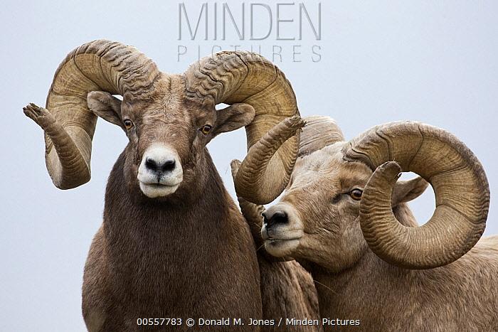 Bighorn Sheep (Ovis canadensis) rams, western Montana