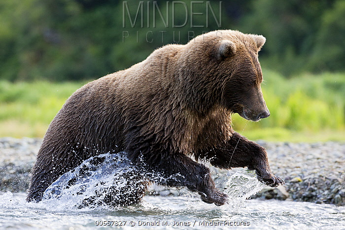 Grizzly Bear (Ursus arctos horribilis) foraging for salmon in stream, Geographic Harbor, Alaska