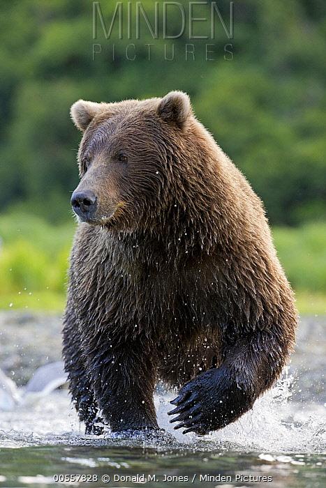 Grizzly Bear (Ursus arctos horribilis) foraging for salmon in stream, Geographic Harbor, Alaska