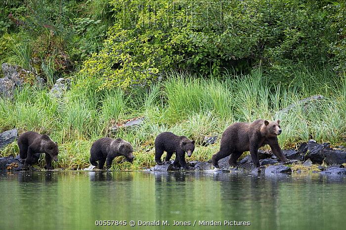 Grizzly Bear (Ursus arctos horribilis) mother and cubs walking along shoreline, Geographic Harbor, Alaska
