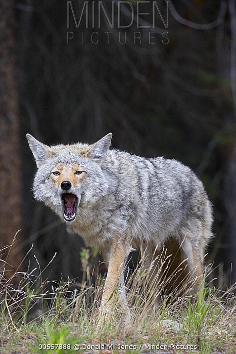 Coyote (Canis latrans) yawning, western Montana