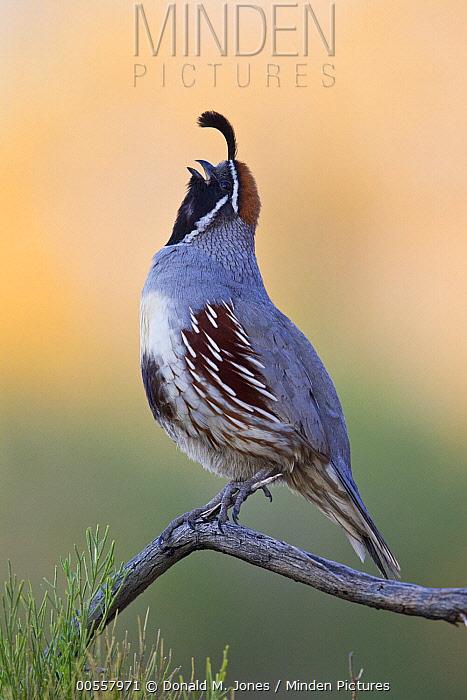 Gambel's Quail (Callipepla gambelii) male calling, southern Nevada