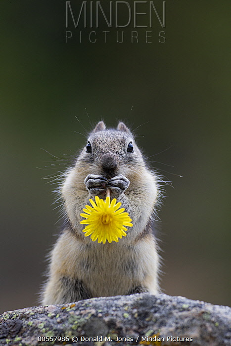 Golden-mantled Ground Squirrel (Callospermophilus lateralis) feeding on dandelion, western Canada