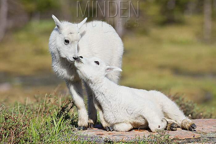 Mountain Goat (Oreamnos americanus) kids nuzzling, western Montana