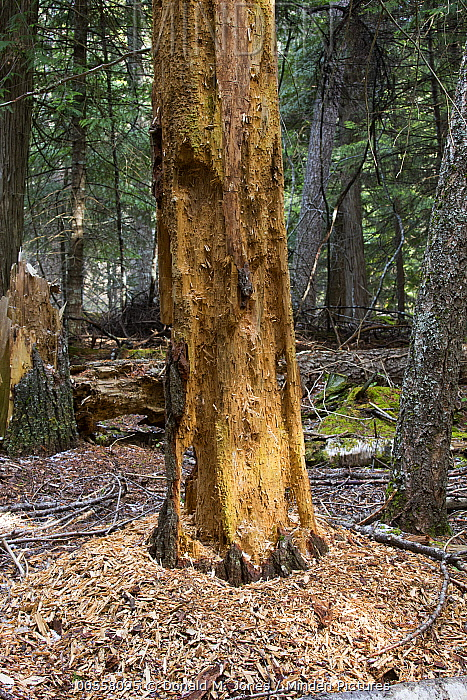 Pileated Woodpecker (Dryocopus pileatus) foraging debris from tree, North America