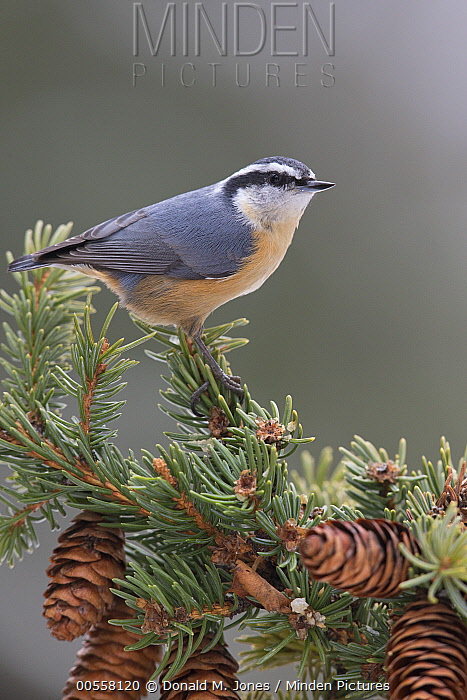 Red-breasted Nuthatch (Sitta canadensis), western Montana
