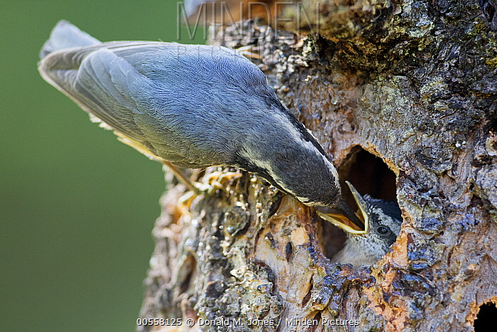 Red-breasted Nuthatch (Sitta canadensis) parent feeding chick at nest cavity, western Montana