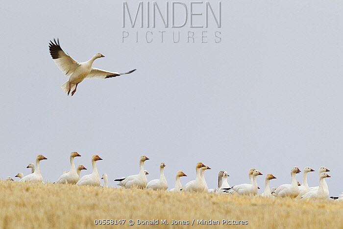 Snow Goose (Chen caerulescens) landing in field, central Montana