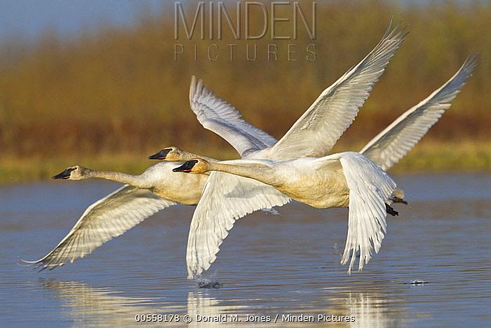 Trumpeter Swan (Cygnus buccinator) trio flying, southern Alaska