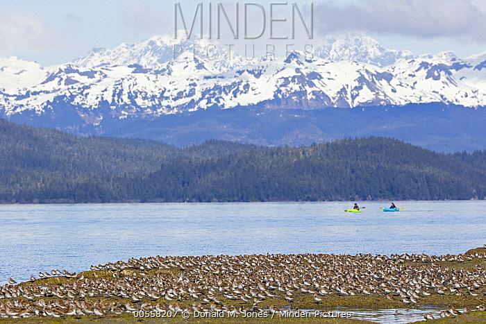 Western Sandpiper (Calidris mauri) flock with kayakers, Cordova, Alaska