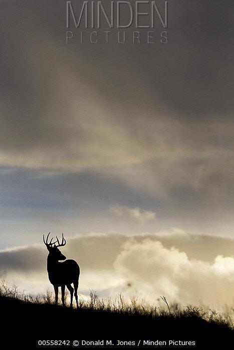 White-tailed Deer (Odocoileus virginianus) buck, central Montana