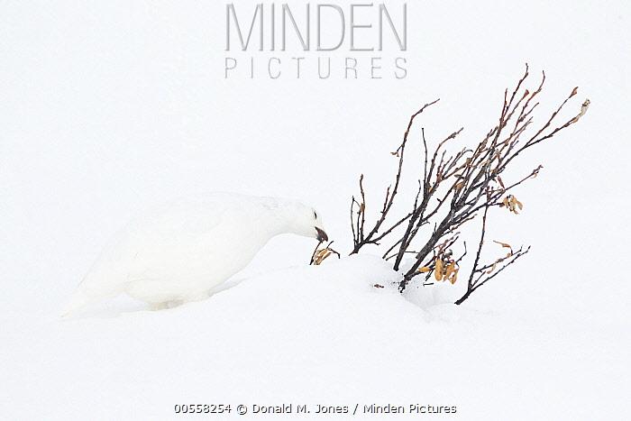 White-tailed Ptarmigan (Lagopus leucura) in winter feeding on buds, western Alberta, Canada