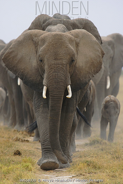 African Elephant (Loxodonta africana) herd walking, Amboseli National Park, Kenya