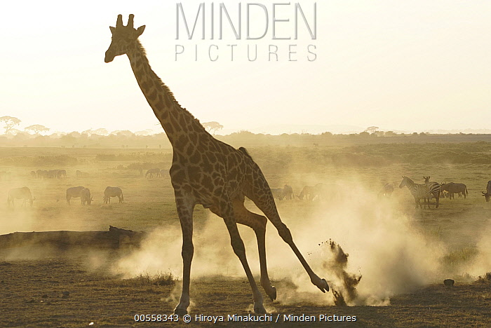 Masai Giraffe (Giraffa tippelskirchi) running at sunset, Amboseli National Park, Kenya
