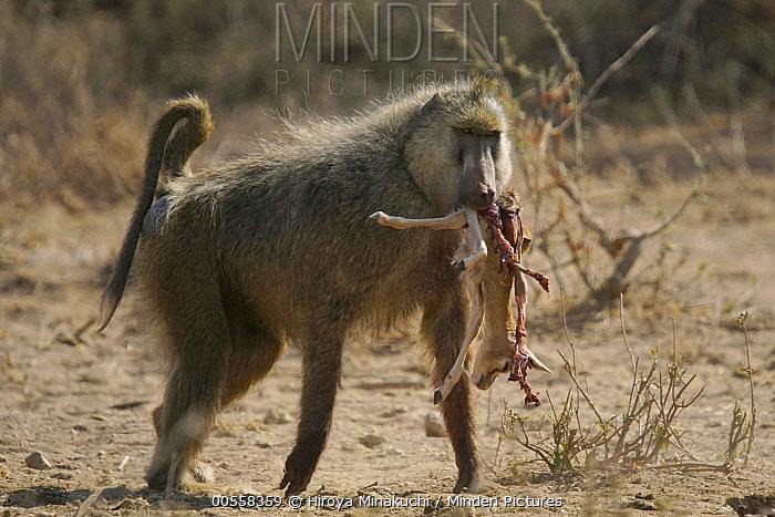 Yellow Baboon (Papio cynocephalus) carrying Kirk's Dik-dik (Madoqua kirkii) prey, Amboseli National Park, Kenya