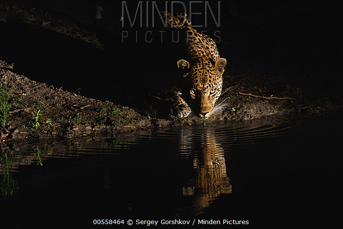 Leopard (Panthera pardus) drinking at night, Londolozi, Sabi-sands Game Reserve, South Africa