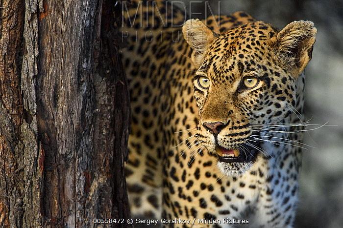 Leopard (Panthera pardus), Londolozi, Sabi-sands Game Reserve, South Africa