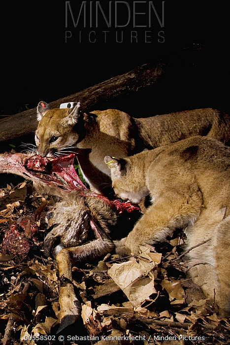 Mountain Lion (Puma concolor) mother and six month old male cub feeding on Black-tailed Deer (Odocoileus hemionus) doe carcass at night, Santa Cruz Puma Project, Lexington Reservoir County Park, California