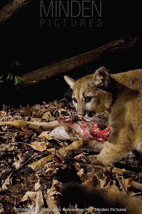 Mountain Lion (Puma concolor) six month old male cub feeding on Black-tailed Deer (Odocoileus hemionus) doe carcass at night, Santa Cruz Puma Project, Lexington Reservoir County Park, California