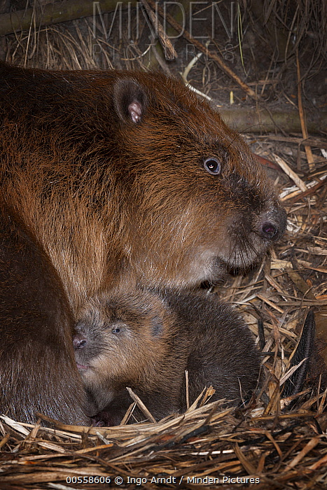 European Beaver (Castor fiber) parent with newborn young inside lodge, Germany